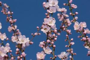 Mandelblüte in Seckenheim